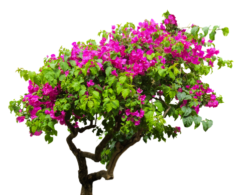 nature tree bougainvillea