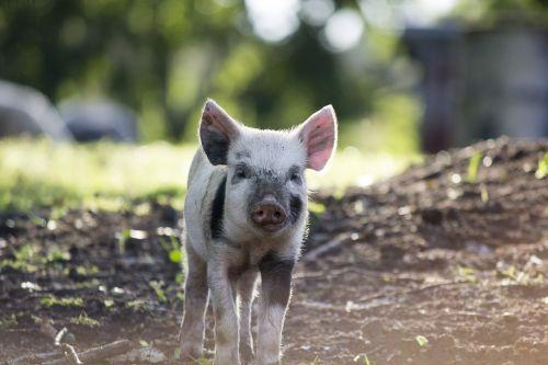 gamta, gyvūnas, žinduolis, laukinė gamta, laukiniai, kiaulė, be honoraro mokesčio