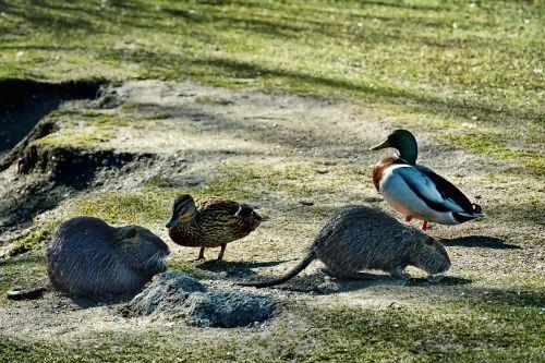 nature nutrias mallards