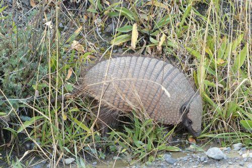 nature grass armadillo