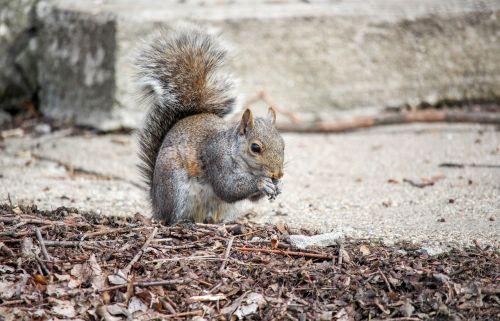 gamta, graužikas, laukinė gamta, žinduolis, mielas, voverė, be honoraro mokesčio