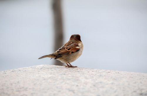 gamta, paukštis, laukinė gamta, lauke, žiema, žvirblis, be honoraro mokesčio