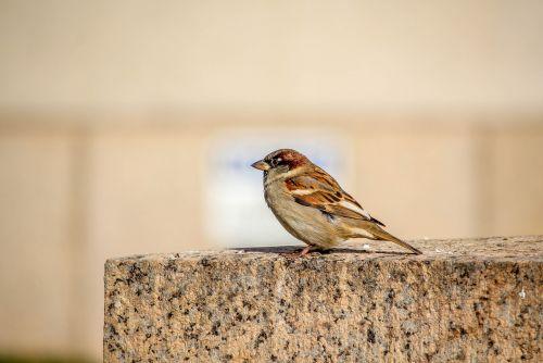gamta, paukštis, laukinė gamta, gyvūnas, mažai, žvirblis, be honoraro mokesčio