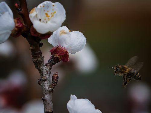 gamta, gėlė, medis, sezonas, bičių, Uždaryti, vabzdys, makro, makrofotografija, be honoraro mokesčio