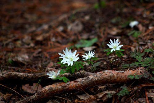 gamta, augalai, wildflower, fazano vėjo gėlė, miške, kalnas, slėnis, pavasaris, be honoraro mokesčio