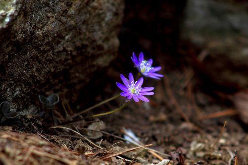 gamta, augalai, wildflower, mano asilas, gėlės, pavasaris, pavasario gėlės, hepatica, be honoraro mokesčio