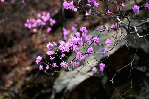 gamta, gėlės, augalai, wildflower, azalija, miške, slėnis, Rokas, Korėjos Respublika, kalnas, rožinis, be honoraro mokesčio