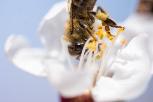 gamta, vabzdys, gėlė, bičių, biologija, vasara, žiedadulkės, medus, apdulkinimas, augalas, Uždaryti, žiedlapis, schönwetter, sparnas, saulė, skristi, be honoraro mokesčio