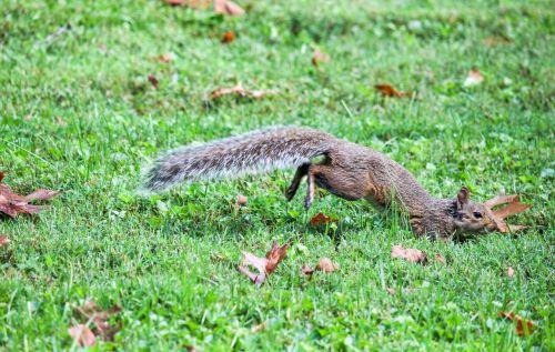 gamta, žolė, laukinė gamta, gyvūnas, lauke, voverė, be honoraro mokesčio