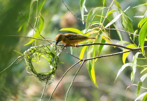 gamta, lapai, vabzdys, flora, laukinė gamta, lauke, mažai, gyvūnas, paukštis, aplinka, laukiniai, sodas, audėjas, Moteris, lizdas, priėmimo, natūralus, be honoraro mokesčio