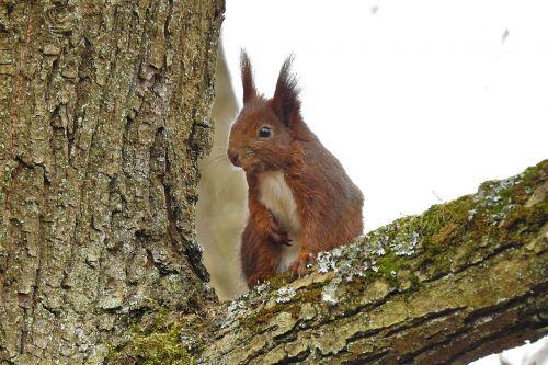 nature tree the squirrel