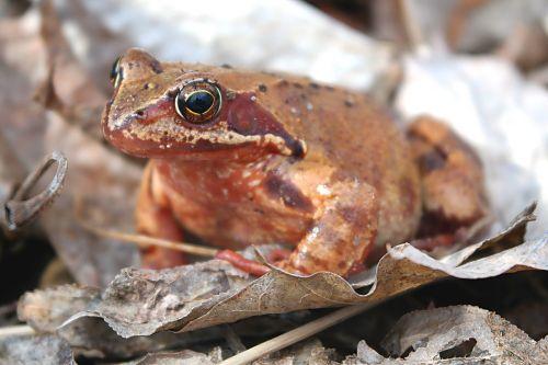 nature animals amphibians bezogonowe