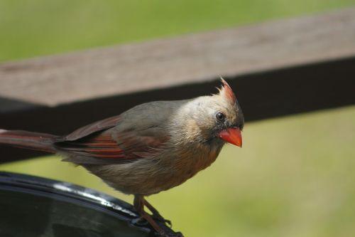 gamta, paukštis, laukinė gamta, kardinolas, lauke, laukiniai, be honoraro mokesčio