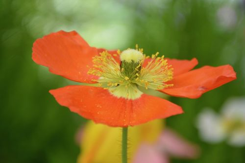 nature flower flowering poppy