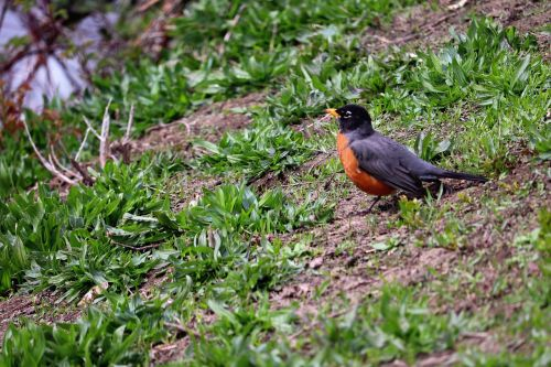 nature outdoors robin