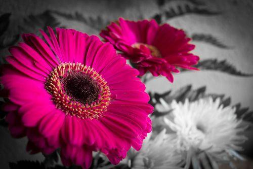 gamta, gėlė, augalas, gražus, spalva, selektyvi spalva, graži, be honoraro mokesčio