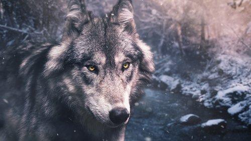 pobūdį, žinduolis, gyvūnas, Gyvūnijos, vilkas, Žiemos, laukinių, sniegas, šuo, ledinis, Predator, miškai, miškas, haskis, Hunter, šalto, Arctic, Alaska, ledas, Šiaurė, Polar, kalnų, Šiaurės, polių, dykuma, Antarkties, kailiai, užšaldymas, įspūdingas, kilnus, išraiškingas, įspūdingas, upė, srautas, vanduo