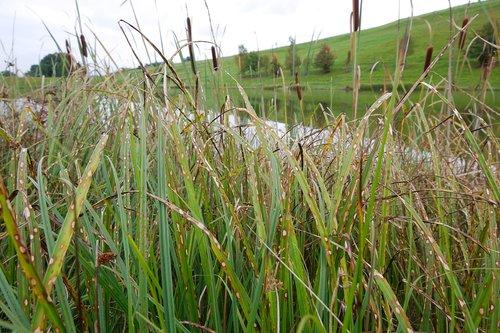 pobūdį, žolė, augalų, laukas, Žemdirbystė, augimas, vasara, aplinka, kaimo, Reed, kraštovaizdis, derlius, žemė, ganosi, gyvena, dangus, žemės