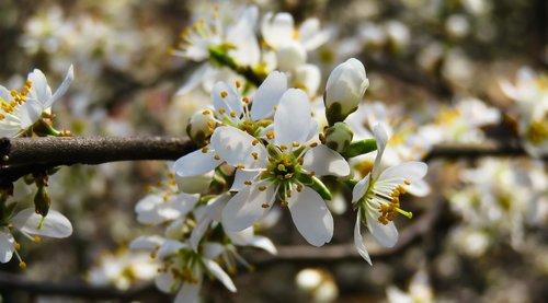 pobūdį, medis, žiedas, žydi, pavasaris, krūmas, žiedadulkės, nektaro, Pavasario gėlė, vyšnios medis, laukinių vyšnių