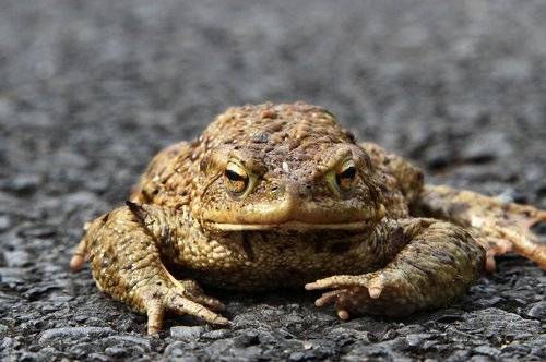 nature  animal  toad migration