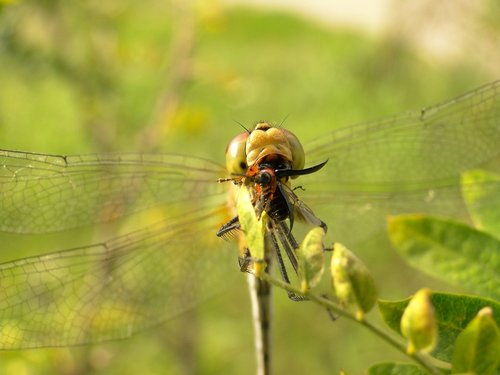 nature  insect  dragonflies różnoskrzydłe