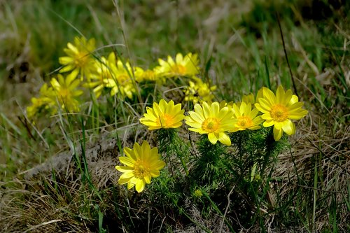 nature  flower  yellow adonis