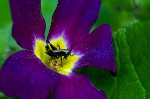 nature  flower  primrose flower