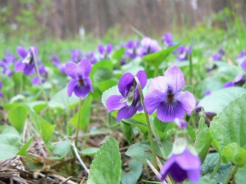 pobūdį, gėlė, augalų, lapų, gėlių, pavasaris, Violetiniai, Violetinė, miškas, pomiškio, miške, Žiedlapis, spalva, makro, Niekas, gėlių žiedlapių, Iš arti, žydi