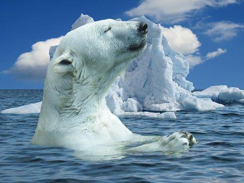 nature  polar bear  animal