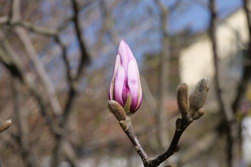 nature  tree  yulan magnolia