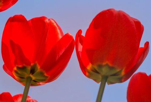 nature  flower  tulip