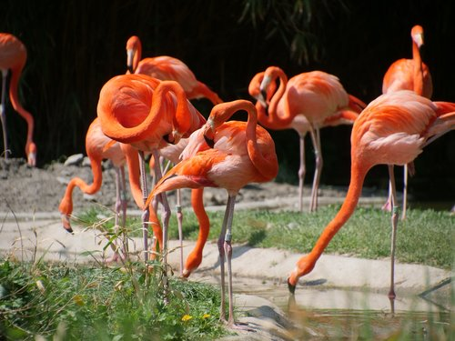 nature  flamingo  red flamingo