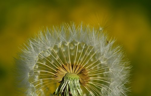 nature  dandelion  summer
