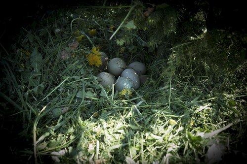 nature  pheasant  eggs pheasant