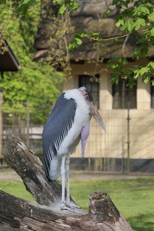 nature  bird  marabou's beak
