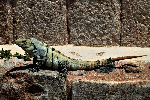 nature  reptile  iguana