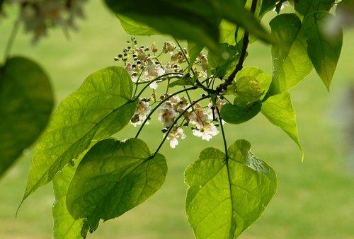 nature  plant  catalpa