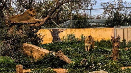 nature  lions  landscape