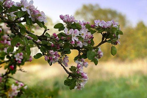 nature  tree  apple tree