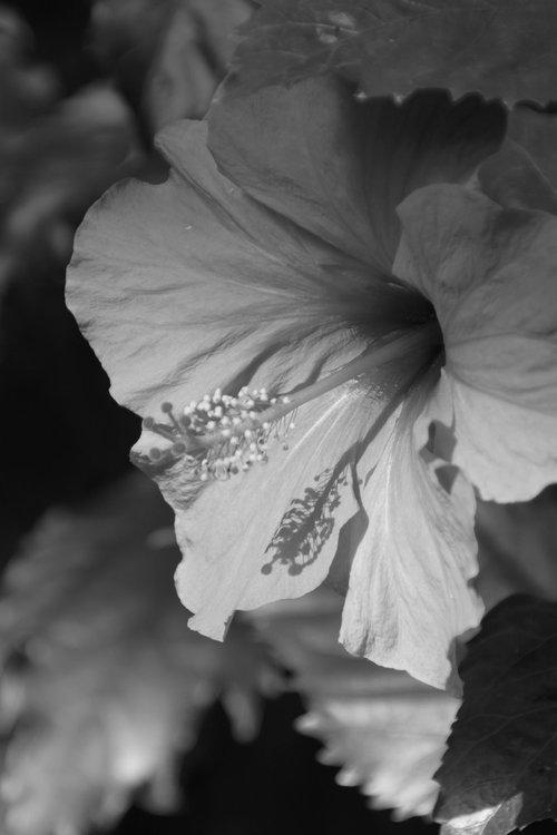 nature  monochrome  flower