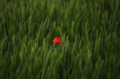 nature  rarely  tulip