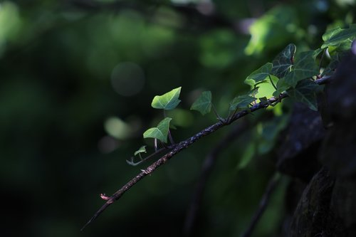 nature  green  ivy