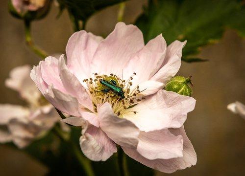 nature  plant  blackberry