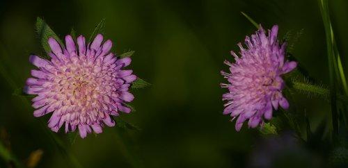 nature  landscape  field-widow flower