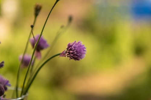 nature  chives  blossom