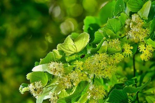 nature  blossom  lime blossom