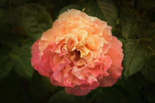 nature  roses  rosaceae