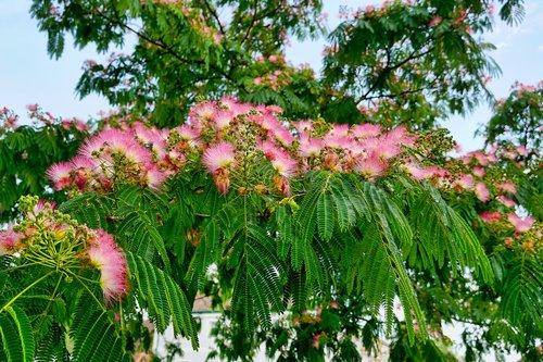 nature  tree  silk tree