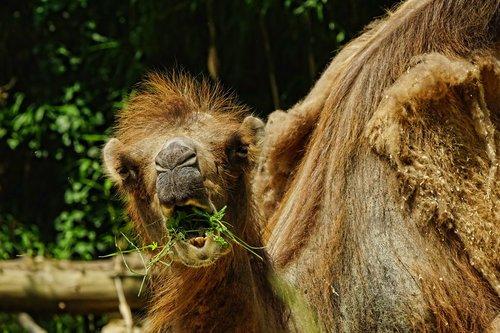 nature  mammal  camel