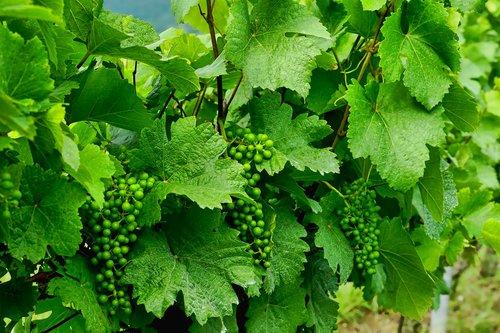 nature  plant  grapevine